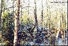 Zimowy las , piekne swierki, ponowa - czegoz moze chciec wiecej mysliwy od przyrody. . .