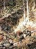 KOSSAK Juliusz, (1824 - 1899) Polowanie u Sapiechów - niedźwiedź osaczony Olej na płótnie.
