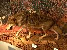 Wilk - muzeum w Konstancji