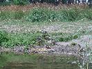 Kaczki Krzyzowki
