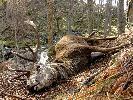 Jeden z wielu jeleni padłych na przełomie zimy i wiosny, ale pierwszy dorosły byk
