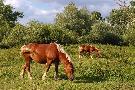 Konie na pastwisku.