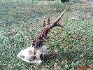 Złotomedalowy rogacz strzelony w 2001 roku w łowisku Szczuczyn na terenie Koła łowieckiego Knieja z Łomży.