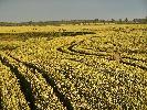 W poszukiwaniu rogacza. Pośród kilkuset hektarów pszenicy jest wąwóz, na którym lubią żerować.