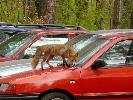 Jak rzesz wielkie było moje zdziwienie, gdy podczas spaceru po lesie na parkingu leśnym zobaczyłem lisa hasającego po maskach samochodów.