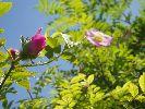 Dzika róża w pąkach
