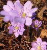 Hepatica nobilis - Przylaszczka pospolita