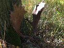 W okresie bekowiska tj. 14.10.2011 r. strzeliłem łownego byka daniela w ob. 423 (N-ctwo Pieski, L-ctwo Międzyborze) dzierżawionym przez Wojskowe Koło Łowieckie 316