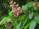 Różowy kasztan